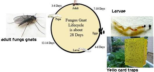 40 natural techniques to getting rid of fungus gnats and kill adult larvae completely how to get rid of gnat - Gnats In Kitchen