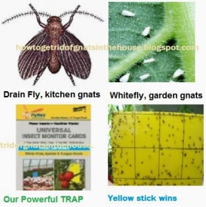 white fly, drain fly, fruit fly nats, yellow sticky traps