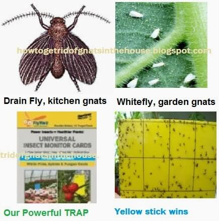 Getting rid of Fungus Gnats  White Flies  Leafminers with Double Sided  Universal Insect Monitor Cards. Getting rid of Fungus Gnats  White Flies  Leafminers with Double