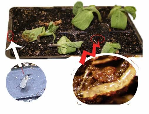 fungus-2Bgnat-2Blarvae-2Badult-2Bexplain